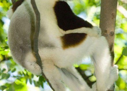 Madagascar Lemur ~