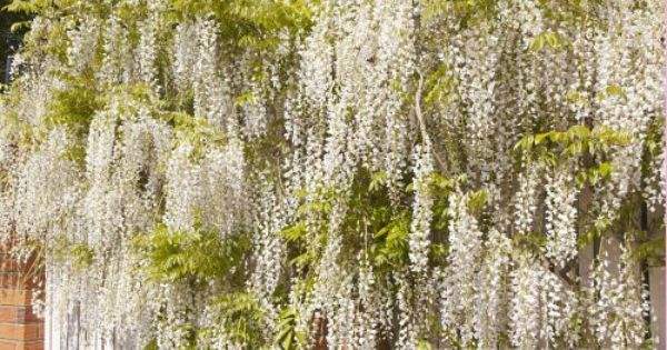 Picture Image Photo Stock Photos And Images For Sale Climbing Vines Wisteria Sales Image