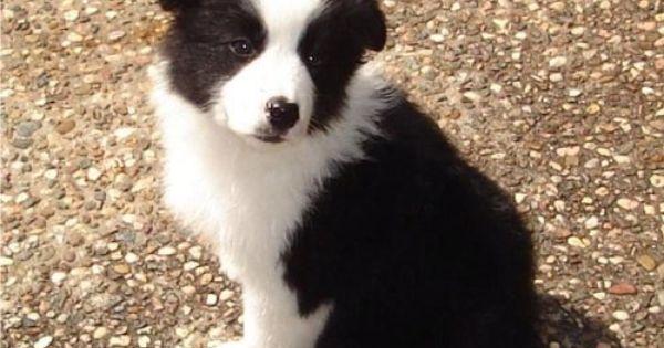I Want A Puppy Looks Like Griz Bordercollies Honden Hondjes