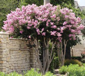 Trimming Crepe Myrtles Myrtle Tree Crepe Myrtle Trees Crape Myrtle