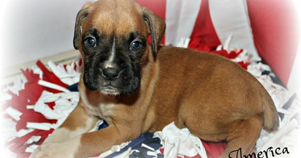 Litter Of 9 Boxer Puppies For Sale In Clayton Nj Adn 29853 On Puppyfinder Com Gender Female Age 5 We Puppies For Sale Boxer Puppies Boxer Puppies For Sale