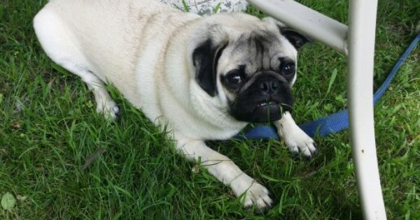 What Mom Don T Eat The Grass I Wasn T Eating Grass Pugs