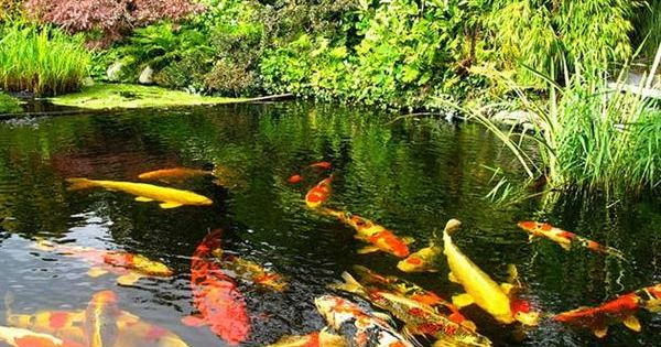 Koi pond tips to build koi fish pond smart home for Amazing koi fish