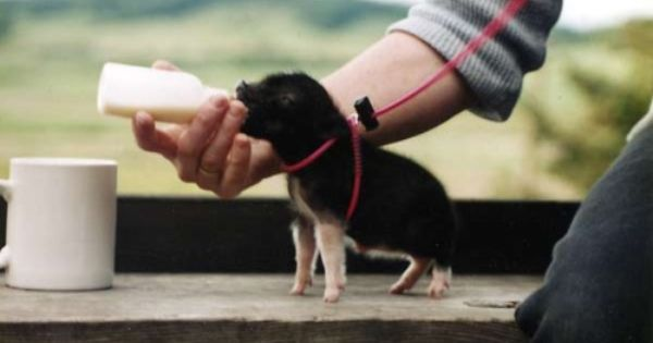 Someday I will have a farm of miniature animals