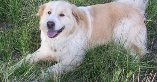 Golden Pyrenees Super Cute Dogs Cute Dogs Great Pyrenees