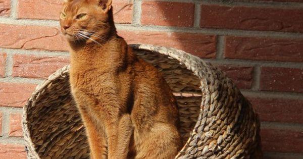Pin Von Abessinier Vom Tanasee Auf Rassekatzen Baby Katzen Baby Katzen Kaufen Katzen Kaufen