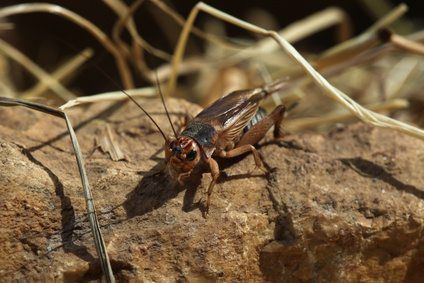 Crickets Lucky Insects Cricket Insect Insects Crickets Chirping