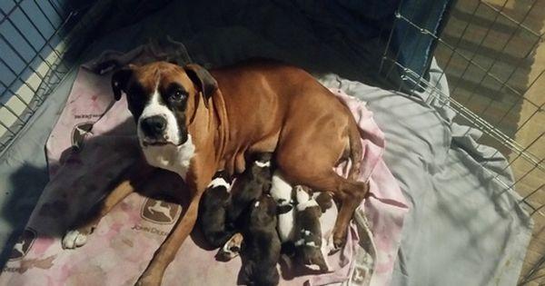 Boxer Puppy For Sale In Stockton Ca Adn 39505 On Puppyfinder Com