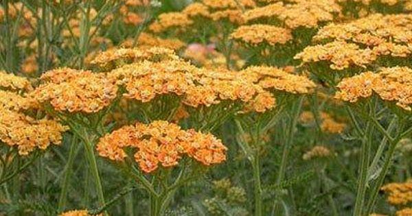 Achillea X Millefolium Terra Cotta Aka Yarrow Achillea Yarrow Plant Achillea Millefolium