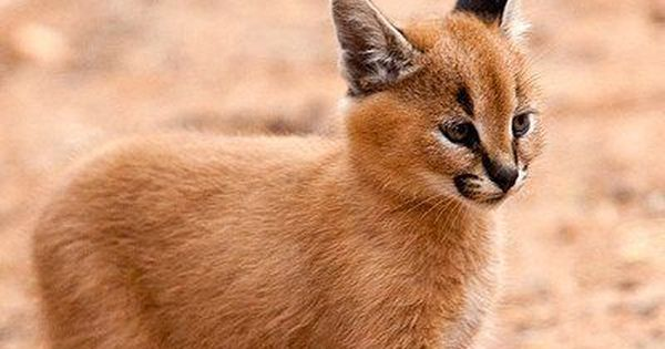 Caracal Kitten. This is one of the most beautiful kittens we have