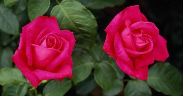 صورة وردتان حمراوتان Photo Hd Rose Flower Hd Flowers Rose