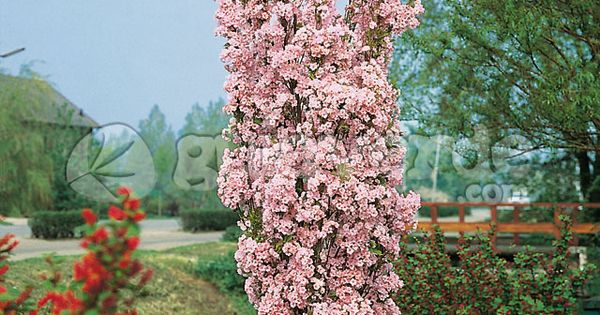 Prunus Serrulata Amanogawa Flowering Cherry Tree Garden Shrubs Blossom Trees