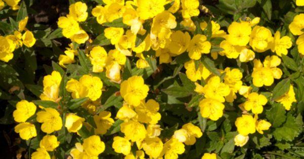 فوائد زيت زهرة الربيع المسائية للشعر يعالج مشكلة سقوط الشعر و يساعد على نمو شعر جديد و صحي Evening Primrose Evening Primrose Oil Prim Rose Oil Benefits