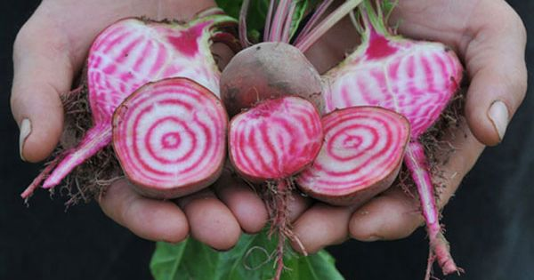 chioggia beet - 60 days. Pre-1840 Italian heirloom beet, this variety arrived