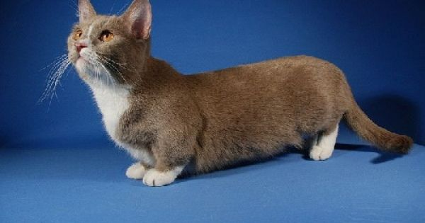 The Munchkin is a cat breed created by a naturally ...