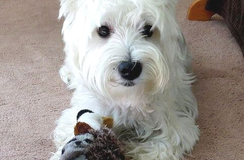 Pin By Stephanie Flynn On Dogs Other Cuties Westie Dogs Westie Puppies Westies