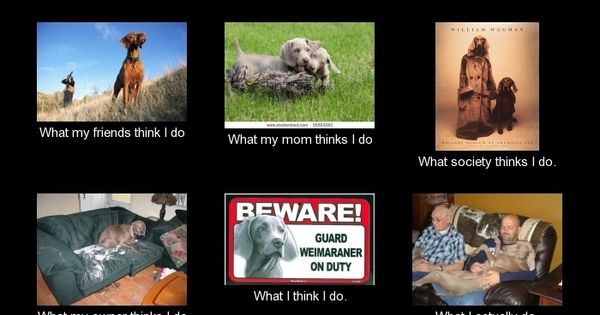 Funny Dog Meme Generator : Weimaraner meme generator what i do pets