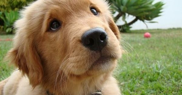 Golden Retriever love the face