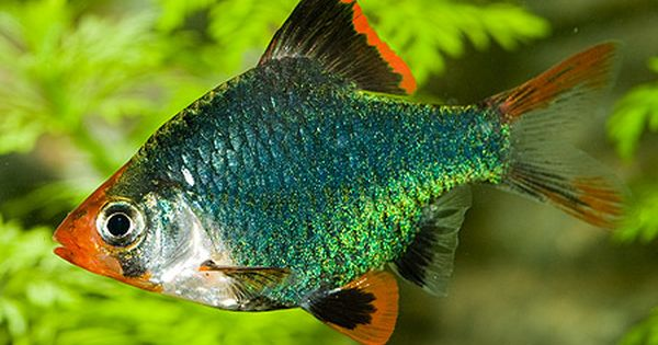 Fish Bio Barbus Barbs Aplenty Tropical Fish Tanks Tropical Fish Tropical Freshwater Fish