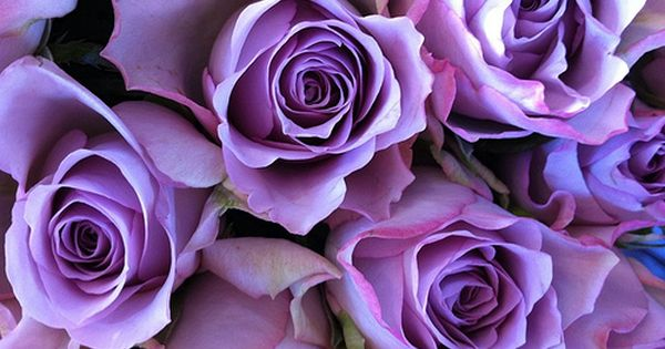 Violet and coral roses are my favorite color roses.