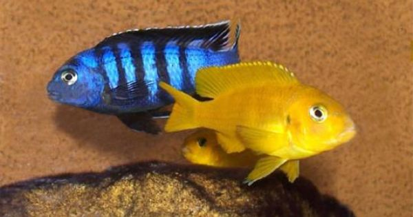 Colorful freshwater fish aquariums fish pinterest for Colorful freshwater aquarium fish