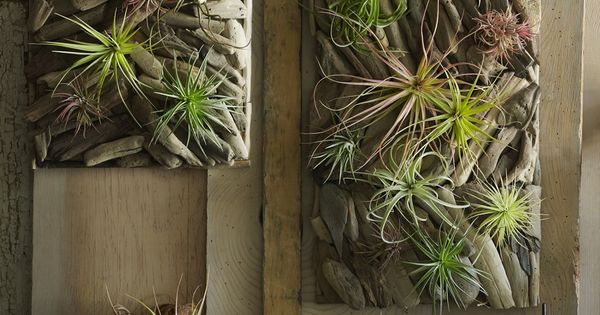 I love these airplants with drift wood.