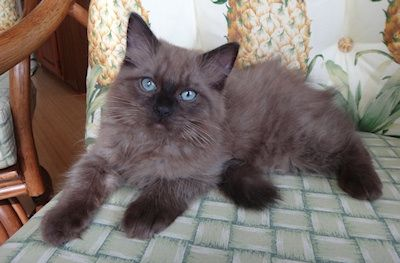Seal Mitted Sepia Ragdoll Kitten Google Search Ragdoll Cat Colors Ragdoll Kitten Kittens