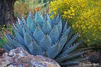 Agave parryi v neomexicana COLD HARDY CACTUS