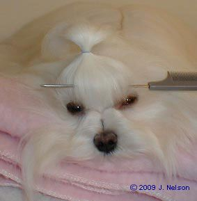 Every Day Top Knot Pictorial Maltese Dogs Forum Spoiled