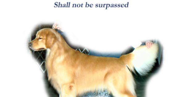 Kilohana Golden Retrievers Golden Retriever Animals Dogs