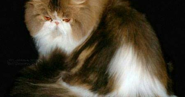 Sandy B Fancy Pants Brown Tabby White Female Teacup Persian Cats Persian Cat White Persian Cat