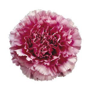 Bicolor Dark Pink Carnation Flowers Fiftyflowers Com Carnation Flower Carnations Pink Carnations