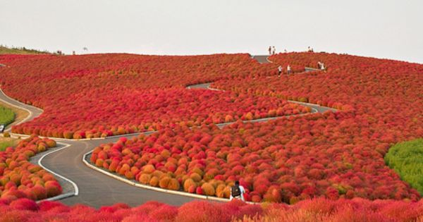 Hitachi Seaside Park, Japan HitachiSeaside Park, located in Hitachinaka, Ibaraki prefecture, Japan,