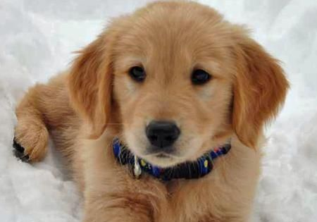 Golden Retrievers cant wait to get a new puppy!