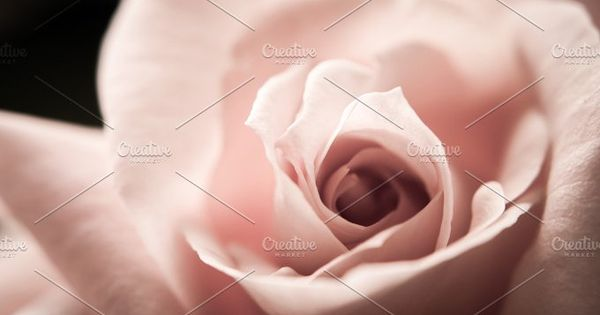 Fairy pink rose close up. Nice for wedding invitation or baby girl birth announcement.