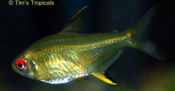 Pin By Faith H On Tetras Fish Tetra Fish Fish Plants