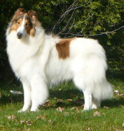 White Rough Collie White Smooth Collies Rough Collie Collie