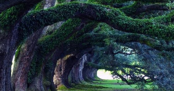 300 year old oak trees, Oak Alley Plantation, Louisiana It is amazing