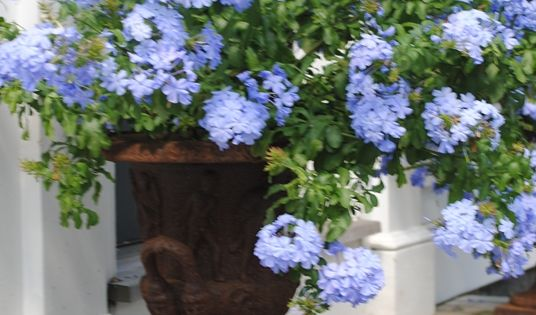 Walk In Garden Box: It Never Gets Too Hot Or Humid For Plumbago.