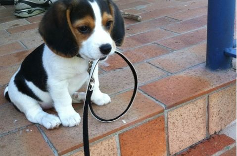 #Beagle, pets, dogs, puppy