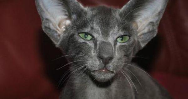 Okh Kater Zucht Ein Neues Zuhause In Berlin Tempelhof Siamkatzenbabys Kaufen Ebay Kleinanzeigen Siam Katzchen Katzen Kater