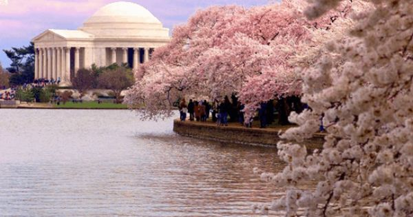 Cherry trees in full bloom next to the tidal basin & the
