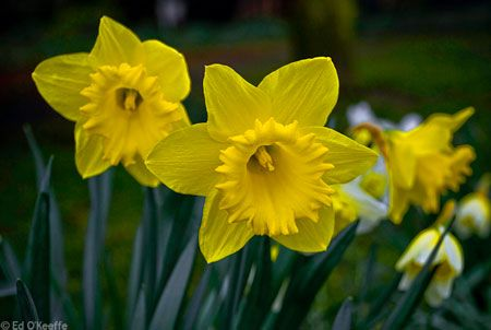 Daffodil Plant Information Narcissus Flower Facts March Birth Flower Meaning Daffodils Daffodil Flower Daffodil Flower Pictures