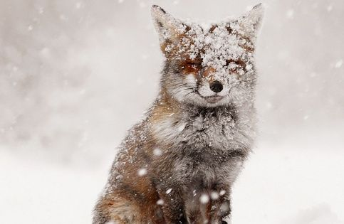 #fox snow winter wonderland cute animals adorable