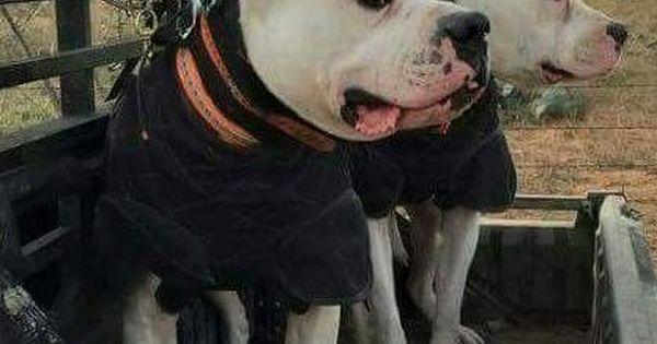 Dogo Argentino X American Bulldog Hog Dog Working Dogs Dog List