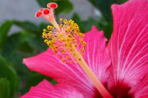 A Macro Photo Of The Stamen And Carpel Of A Hibiscus Plant Hibiscus Flower Meaning Hibiscus Plant Hibiscus