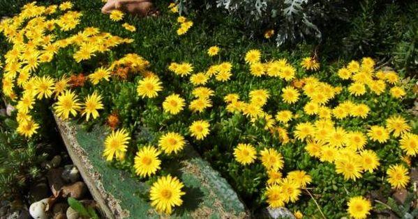 Slonecznica Wysokogorska Delosperma Lineare Albamar Perennials Plants Perennial Shrubs