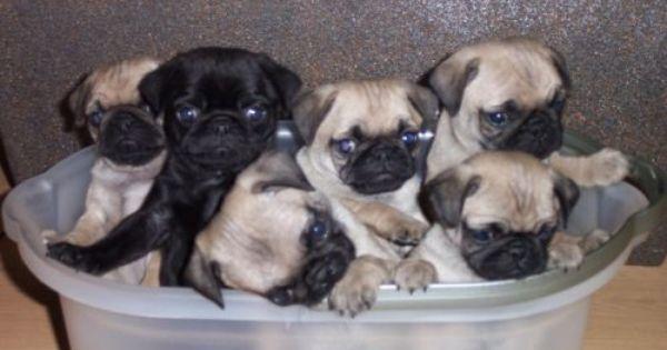 San Francisco Bay Area Pug Puppies Dogs Tvs Jobs Ebay