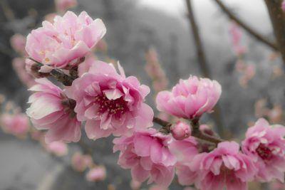 Growing A Flowering Peach Tree Is An Ornamental Peach Edible Peach Blossom Tree Peach Trees Pink Flowering Trees