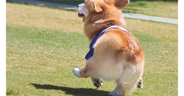 Skipping along through life, it works for him! dogs pets Corgis facebook.com/sodoggonefunny